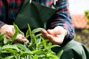 identifying herbs