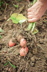 20919059 - hand pulling potato plant from soil