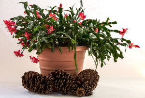 get beyond the christmas tree when identifying plants for the holidays - Cactus Christmas Decorations